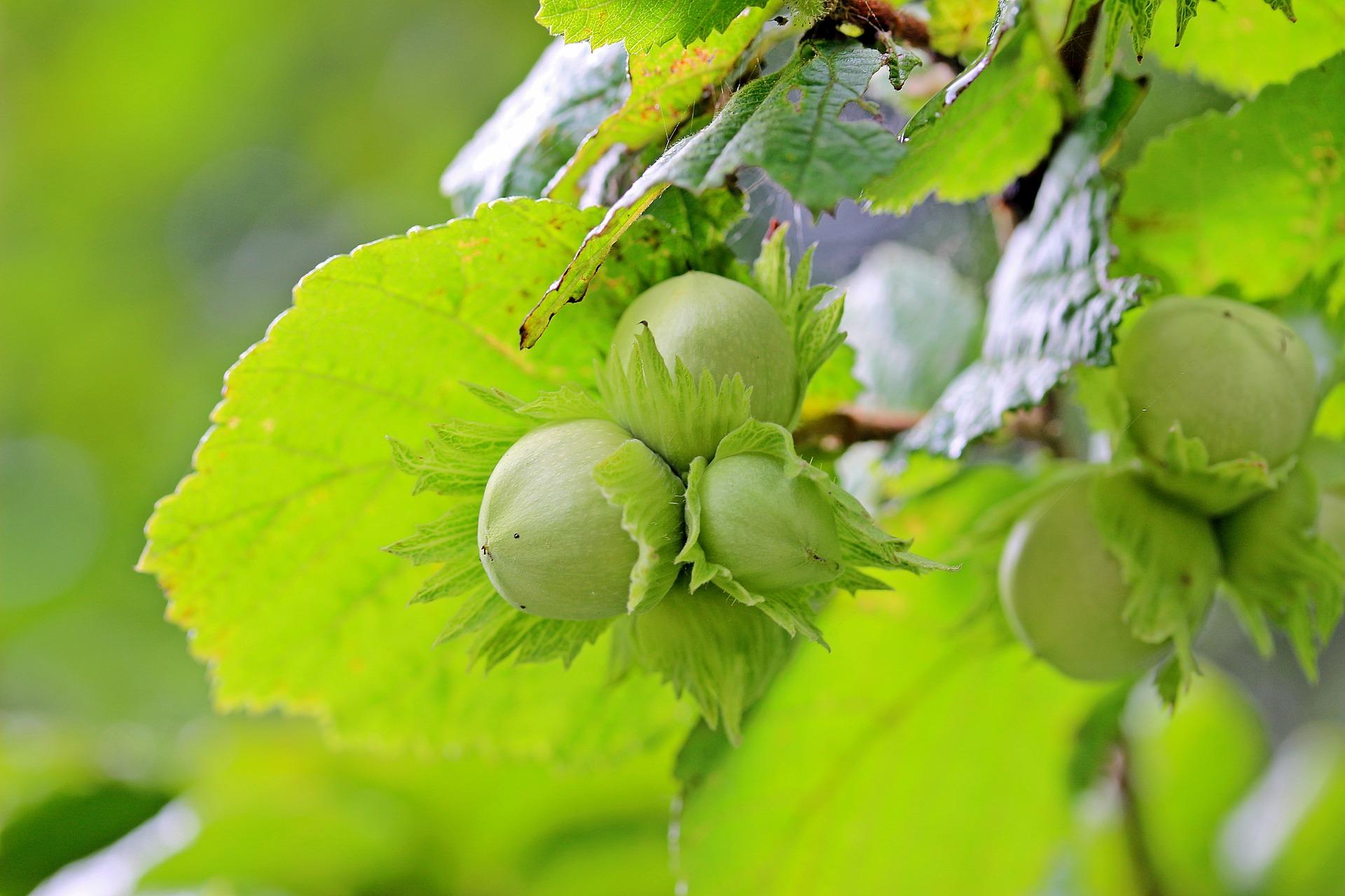 Euroopanpähkinäpensaan pähkinää kutsutaan hasselpähkinäksi